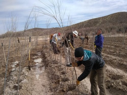 planting willows at Sevilleta